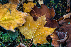 Colorful autumn leaves and plants covered with frost Stock Images