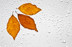 Colorful autumn leaves and raindrops on the window Royalty Free Stock Photos