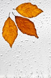 Colorful autumn leaves and raindrops on the window Royalty Free Stock Image