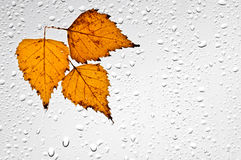 Colorful autumn leaves and raindrops on the window Stock Image