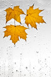 Colorful autumn leaves and raindrops on the window Royalty Free Stock Photo