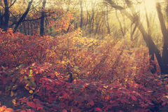 Colorful autumn leaves in the rays of the setting sun Stock Photos