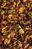 Colorful autumn leaves. Colorful red and yellow autumn wild grape leaves Stock Photos