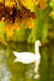 Colorful autumn leaves on the shore of lake illustrate swan silh. Colorful november autumn leaves on the shore of lake illustrate swan silhouette Royalty Free Stock Photos