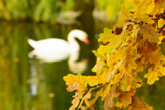 Colorful autumn leaves on the shore of lake illustrate swan silh Royalty Free Stock Photos