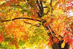 Colorful Autumn Leaves with Sunlight Royalty Free Stock Images