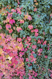 Colorful autumn leaves together with green leaves in Canakkale Stock Photo