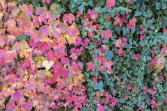 Colorful autumn leaves together with green leaves in Canakkale. Turkey Stock Photography