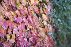 Colorful autumn leaves together with green leaves in Canakkale Stock Photos