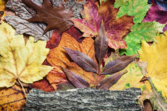 Colorful autumn leaves and tree bark Royalty Free Stock Photography