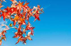 Colorful autumn leaves on tree branch. Colorful autumn leaves on a tree branch against blue sky with copy space Royalty Free Stock Photography