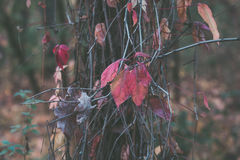 Colorful autumn leaves on a tree close up Royalty Free Stock Images
