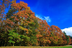 Colorful autumn leaves on trees. In a forest Royalty Free Stock Photos