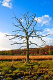 Colorful autumn leaves on trees with dead tree. Colorful autumn leaves on trees with a dead tree in front Stock Images