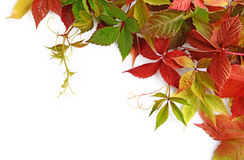Colorful autumn leaves of Virginia creeper. (Parthenocissus quinquefolia) isolated on white background Royalty Free Stock Photography
