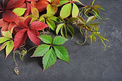Colorful autumn leaves of Virginia creeper Stock Photo