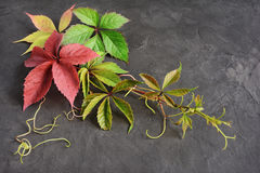 Colorful autumn leaves of Virginia creeper Royalty Free Stock Image
