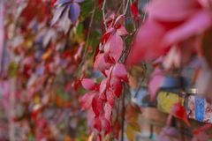 Colorful autumn leaves wall macro texture Royalty Free Stock Images