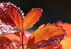 Colorful autumn leaves and water drops. Close-up stock images
