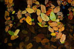Colorful autumn leaves on water Royalty Free Stock Photo