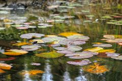 Water lilies and autumn leaves. Colorful autumn leaves and water lilies in a pond, reflections royalty free stock photo