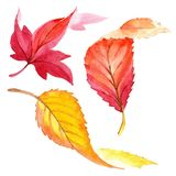 Colorful watercolor autumn leaves. Leaf plant botanical garden floral foliage. Isolated illustration element. stock illustration