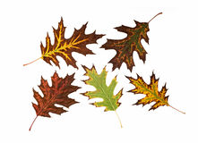 Colorful autumn leaves. On a white background Royalty Free Stock Photo