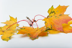 Colorful autumn leaves. Colorful leaves on white background Royalty Free Stock Images