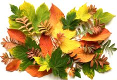 Colorful autumn leaves on a white background stock photo