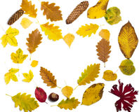 Colorful autumn leaves on white background. Stock Image