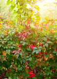 Colorful autumn leaves of wild grape Royalty Free Stock Image