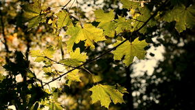 Colorful autumn leaves in the wind, sepia tone stock video footage