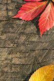 Colorful autumn leaves on wood background Stock Images