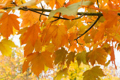 Colorful autumn leaves. Yellow and orange leaves at the autumn Royalty Free Stock Photos