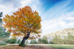 Colorful autumn linden tree on alp meadow Royalty Free Stock Photography
