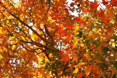 Colorful autumn maple leaf Stock Image