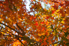 Colorful autumn maple leaf Stock Photo