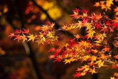 Colorful autumn maple leaf background. Colorful aun maple leaf with foliage bokeh background during sunset in Fall at Eikan-do zenrinji temple, Kyoto, Japan royalty free stock photography