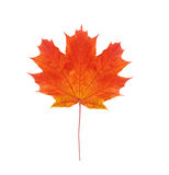 Colorful autumn maple leaf isolated on white Royalty Free Stock Photo
