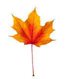 Colorful autumn maple leaf isolated on white Royalty Free Stock Images