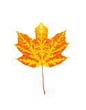 Colorful autumn maple leaf isolated on white Royalty Free Stock Photos