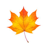 Colorful autumn maple leaf isolated on white Stock Image
