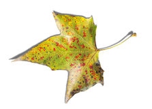 Colorful autumn maple leaf isolated on white background Royalty Free Stock Photography