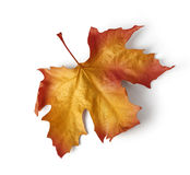 Colorful autumn maple leaf Stock Photos