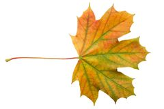 Colorful autumn maple leaf isolated on white background close up.  stock photo