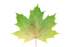 Colorful autumn maple leaf isolated on white background. Closeup Royalty Free Stock Images