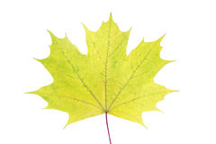 Colorful autumn maple leaf isolated on white background. Closeup Stock Image