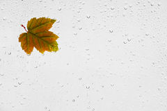 Colorful autumn maple leaf and raindrops on the window. Stock Image