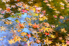 Colorful  Autumn maple leaf on the water. Stock Photos