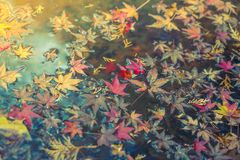 Colorful  Autumn maple leaf on the water ( Filtered image proces Stock Photos